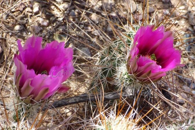 Hedgehog cactus in full bloom