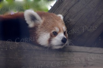 A red panda, about six months old