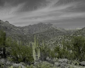 Saguaro cacti in Sabino Canyon in southeastern Arizona. Taken in one-point color
