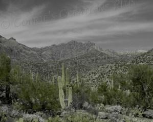 Saguaro cacti in Sabino Canyon in southeastern Arizona. Taken in one-point color