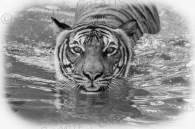 Black-and-white version of a tiger going for a swim