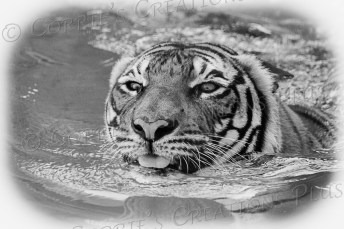 Black-and-white version of a Malayan tiger