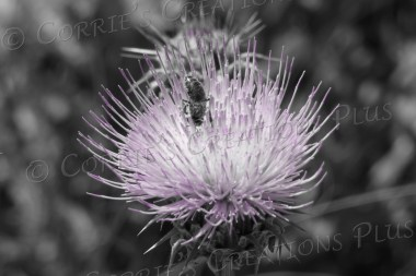 Honeybee on thistle; taken in southeastern Arizona in one-point color