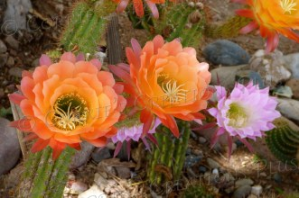 Colorful trumpet cacti blossoms