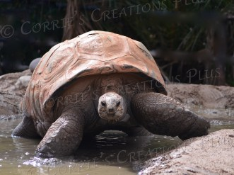 This tortoise enjoys playing in the water after a rain in Tucson.