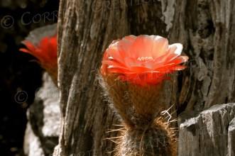 Orange trumpet cactus