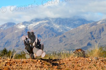 Snow tops the Catalina Mountains with cacti in the foreground.
