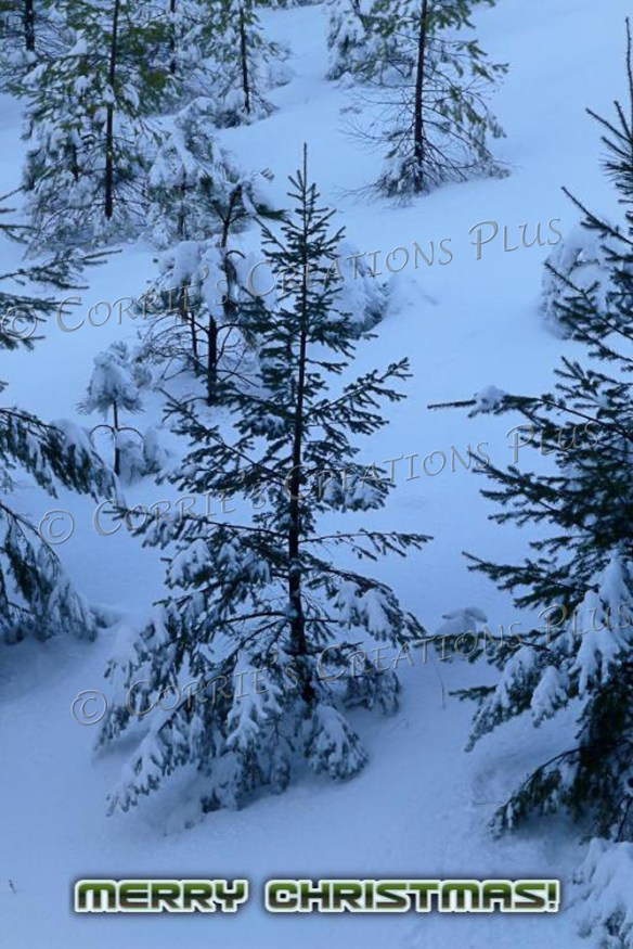 Evergreens in the snowy Catalina Mountains in southeastern Arizona