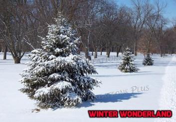 Fresh snow on evergreens in southeastern Nebraska