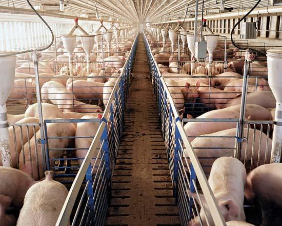 Cuando el problema es el olor sexual de la carne... de los cerdos