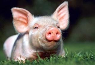 Si el cerdo está triste, el jamón sabe peor