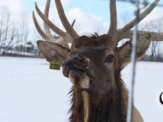 Elk close up