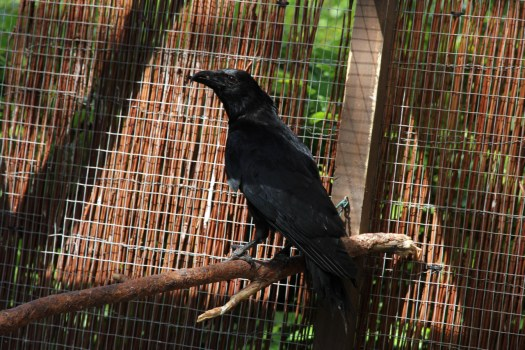 Carrion crow Boing Boing sitting on a perch in our communal aviary.