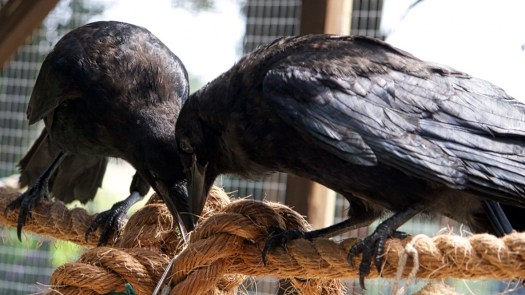 Playing and interacting crows