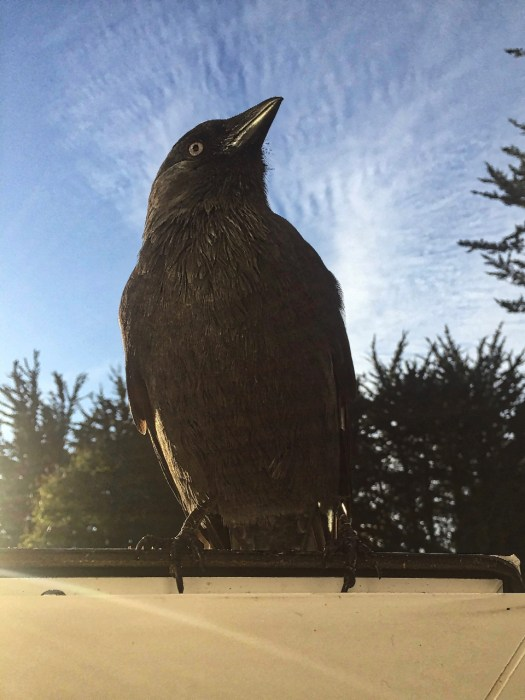 Previously imprinted Jackdaw Puck has been gradually transformed back into a bird capable of surviving in the wild thanks to the help of other wild and resident jackdaws.