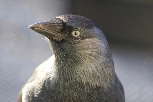 This picture of jackdaw Puck is taken after her successful release back into the wild.