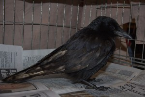 Carrion crow Justus