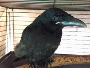 Carrion crow Merilyn