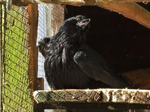 Sunbathing carrion crow
