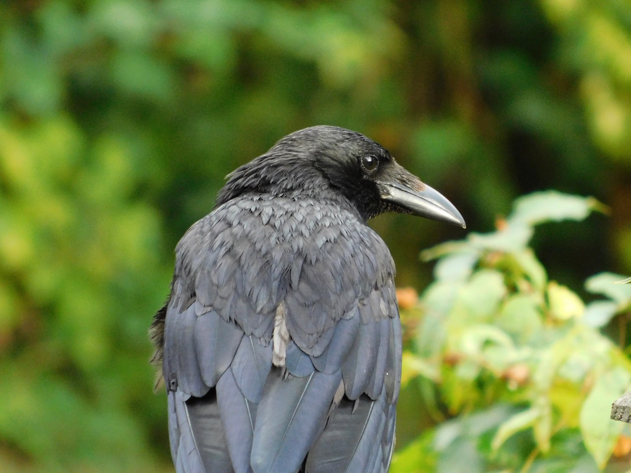 Carrion crow Merilyn