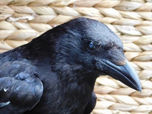 Carrion crow Aurelia