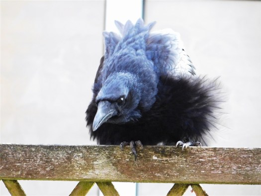 Fluffy carrion crow Emma