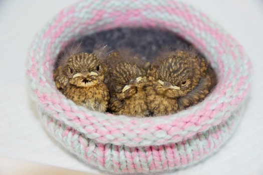 Three robin nestlings