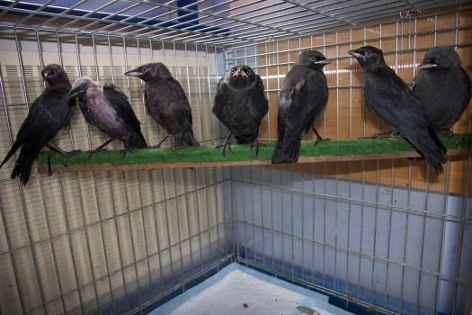 Jackdaw fledglings
