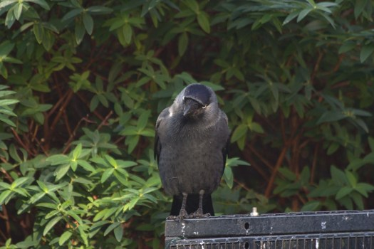 Jackdaw Puck sitting on aviary roof