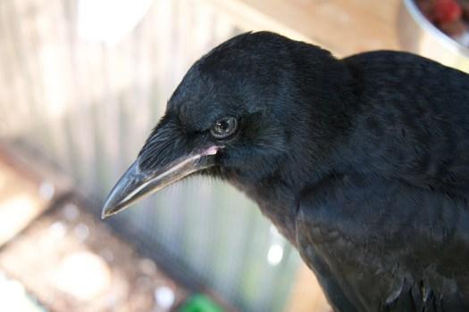 Rook fledgling Teal'c