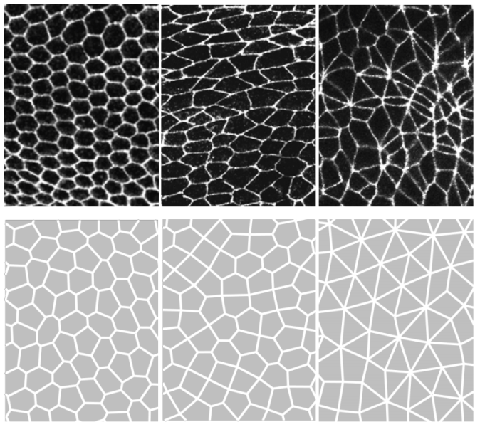 Top row: A transition from normal epithelial cells in a honeycomb pattern (top left) to shifted cells. This transition leads to increasing disorder in their shapes. Bottom row: Simulated patterns from the theoretical vertex model recapitulate cell shapes and topologies.
