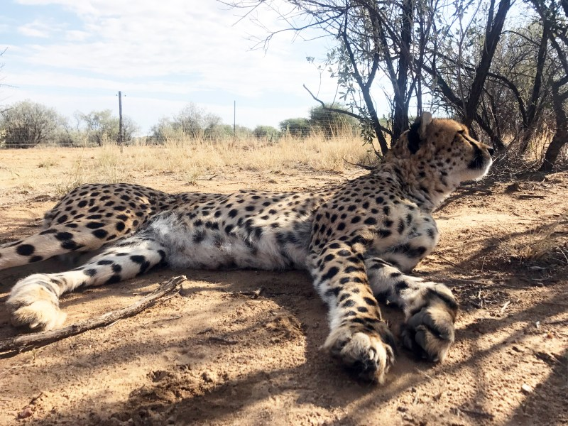 From a cub to adulthood, this tame male cheetah was hand raised on the Na/a'ankuse Sanctuary. Pictured here, researchers were helping to assist with the FIT (Footprint Identification Technology) project. Photo courtesy of Julie Dobkins.