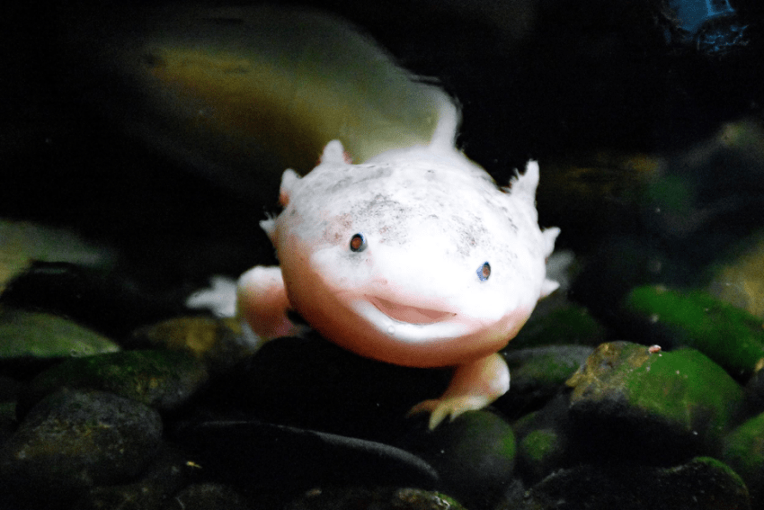 The Mexican axolotl salamander can regenerate many body parts, including its limbs and the spinal cord. Photo by Artem Lysenko from Pexels