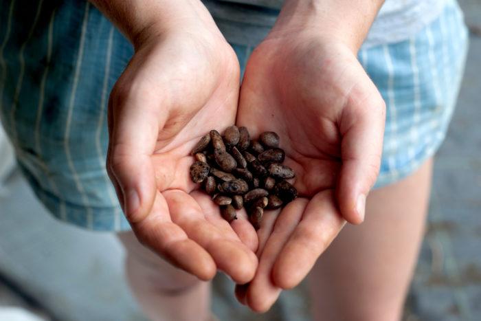 Leucaena (Leucaena leucocephala) seeds. Leucaena is a nitrogen fixing tree that helps to build soil in degraded areas.
