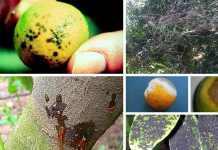 enfermedades en limoneros