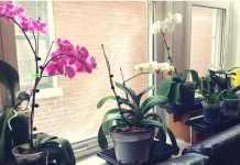 cuanta luz necesitan las orquideas