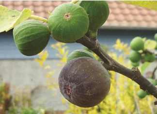 higuera no da frutos solucionar