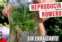 El romero se puede propagar a partir de semillas, a partir de esquejes y a partir de acodos #Huerto #Huertourbano #jardin #Jardineria #Cultivar #aromaticas