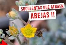 Puedes mantener un jardín de suculentas que atraiga polinizadores durante todo el año, si plantas las suculentas adecuadas para que siempre haya alguna en flor. #huerto #huertourbano #Jardineria #jardin #cultivar #suculentas