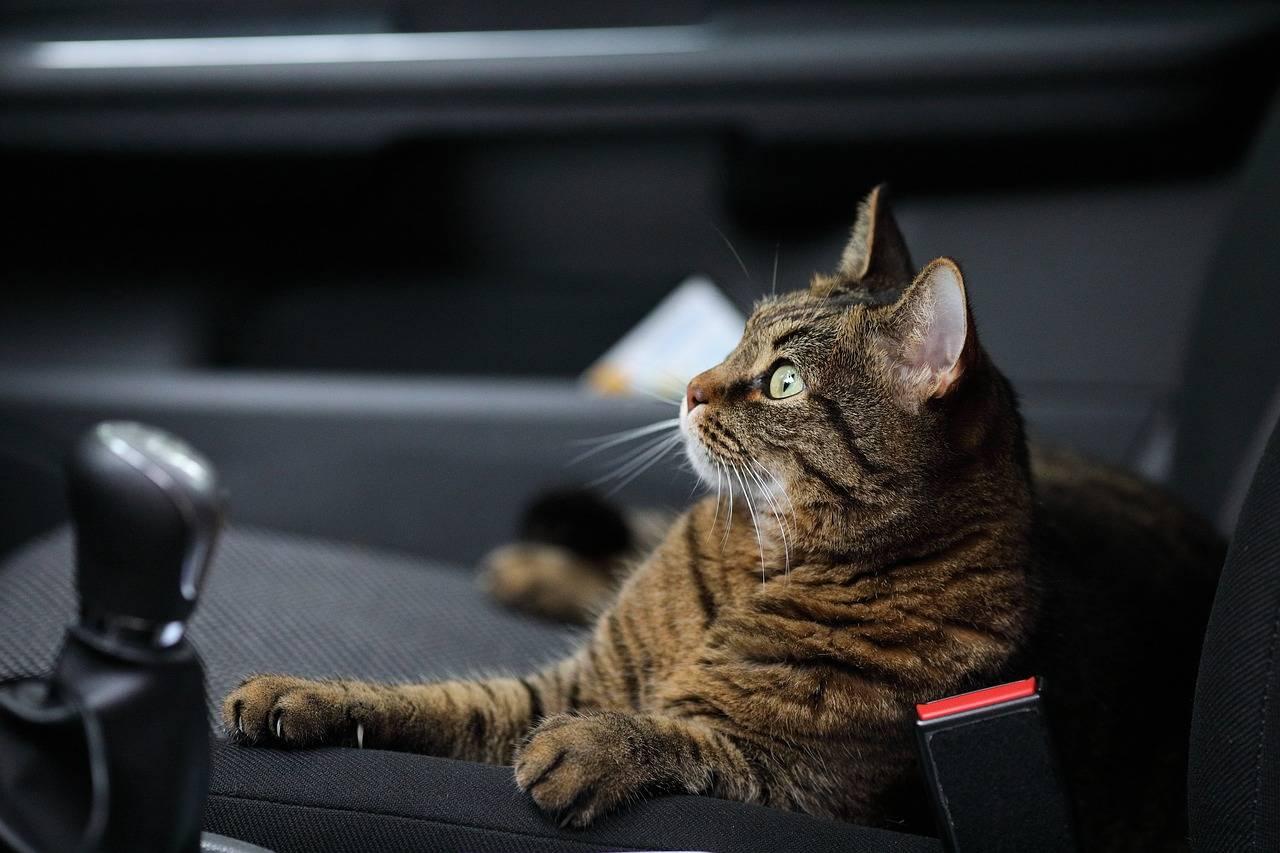 Cómo prevenir el mareo en los gatos al viajar en coche