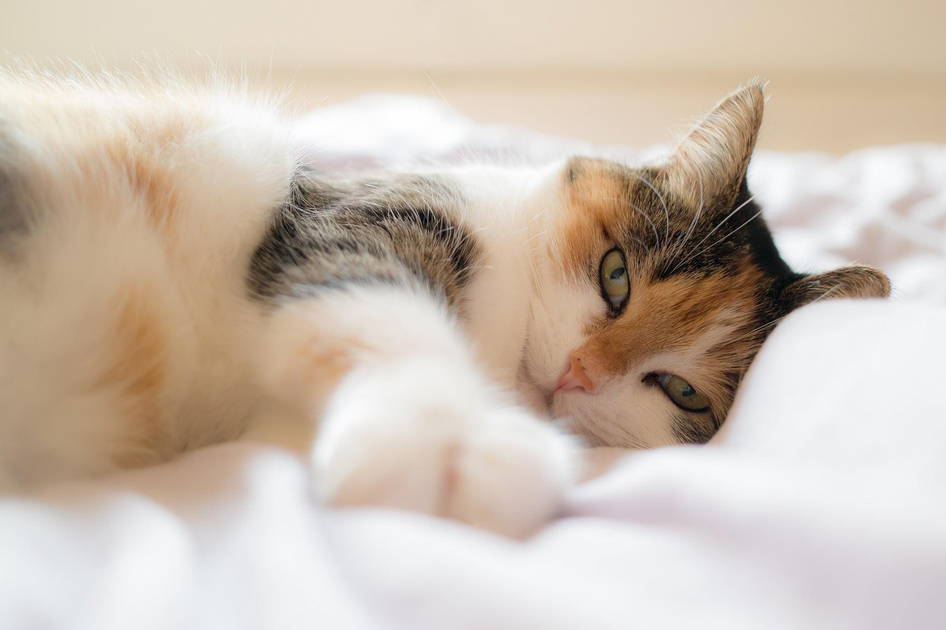 Cómo entrenar a un gato para amar su cama
