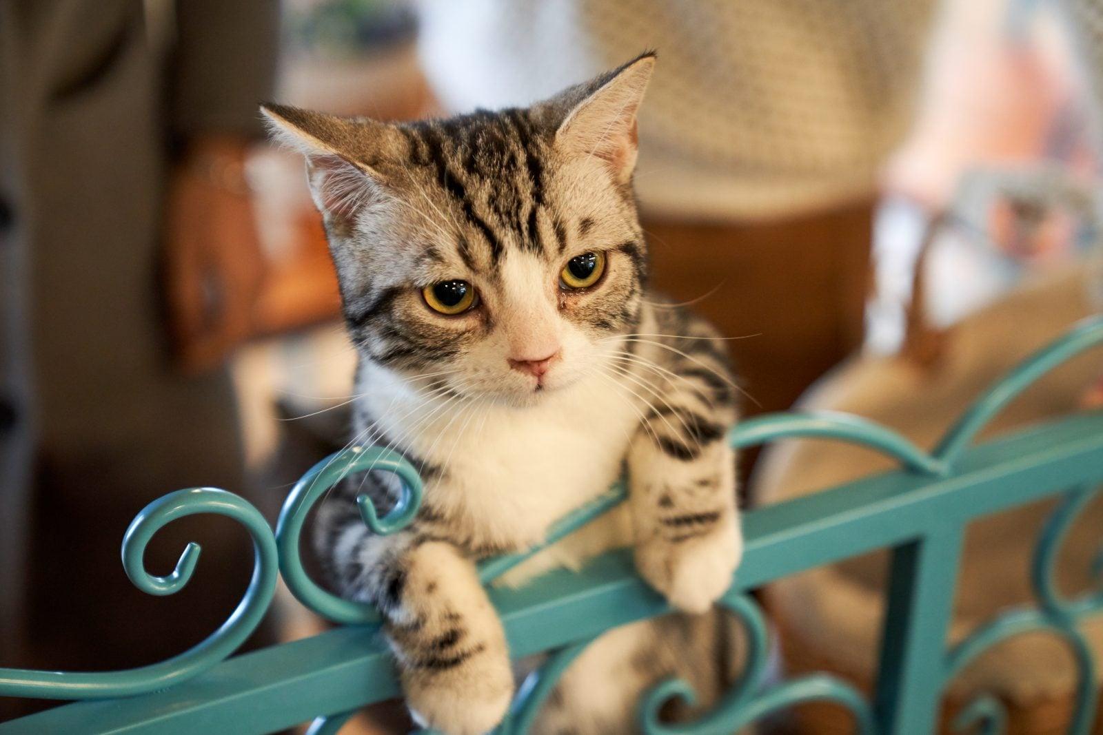 Entrenamiento clicker para gatos