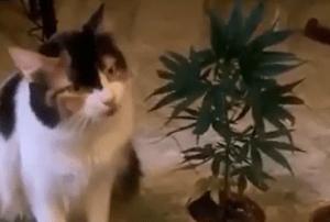 Gato come Marihuana