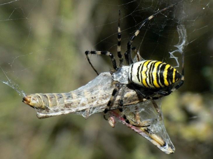 La araña tigre no es peligrosa