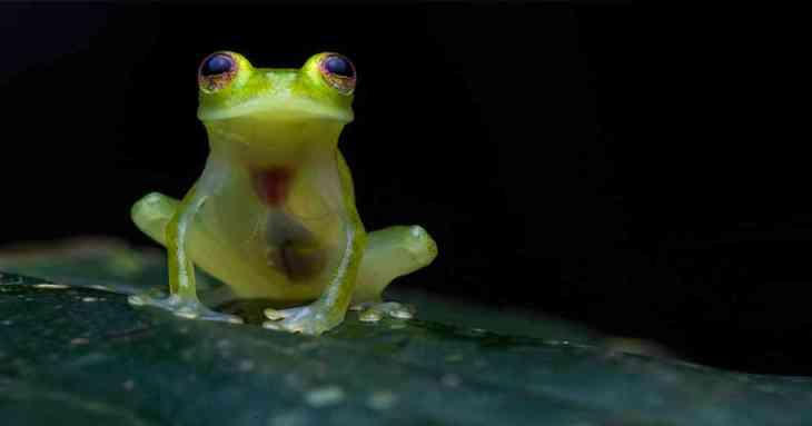 Rana de cristal, una de las nuevas especies descubiertas en la Amazonia
