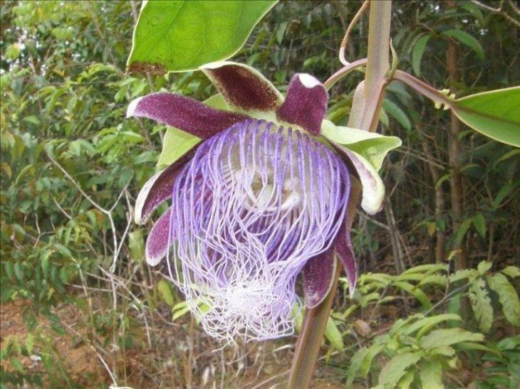 Una nueva especie de plantas en la Amazonia