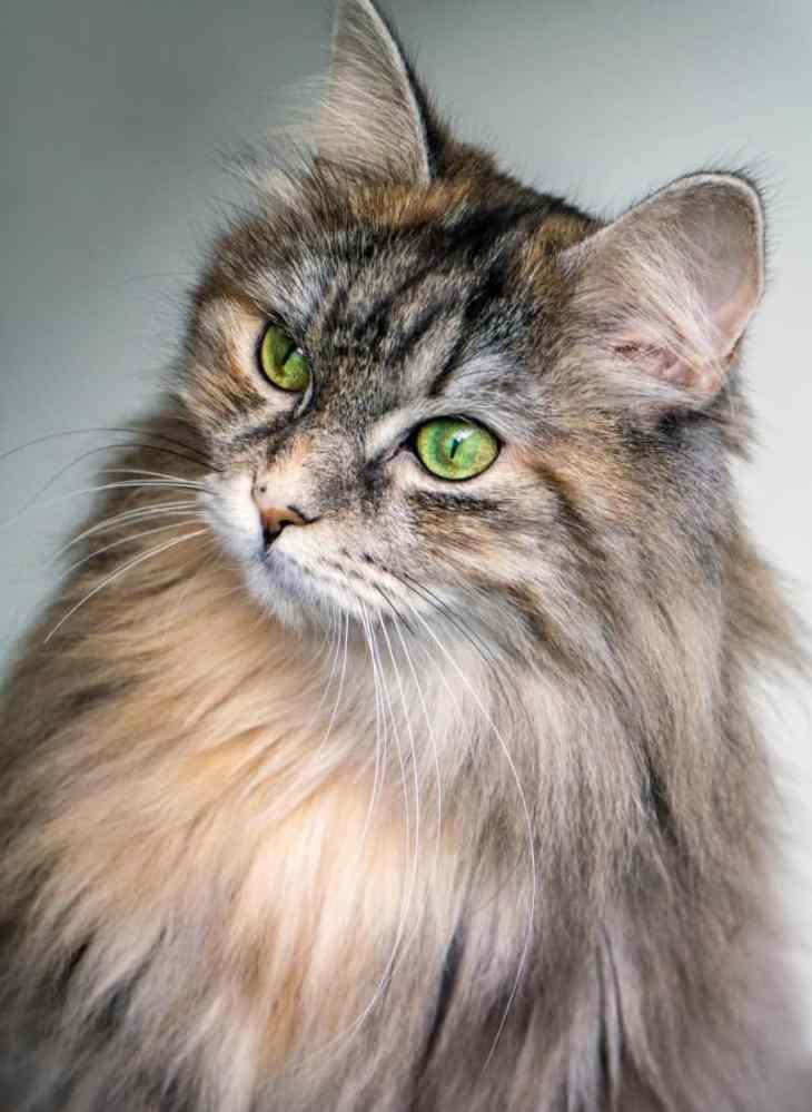 Gato bosque noruego con su largo pelaje y unos bonitos ojos verdes