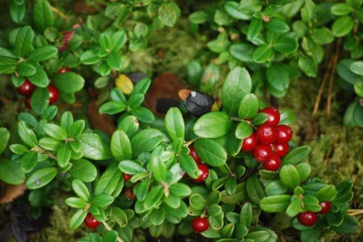 Los arandanos rojos tienes excelentes propiedades curativas