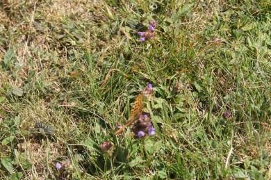 Farfalla che vola sull'erba del Monte Poieto