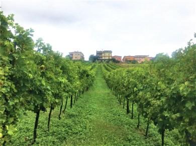 14 le vigne di moscato giallo
